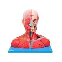 Musculatura Da Cabeça, Pescoço E Parte Do Tronco Em 19 Partes - Sdorf Scientific