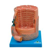 Fibra Muscular Esquelética Com Placa Motora - Sdorf Scientific