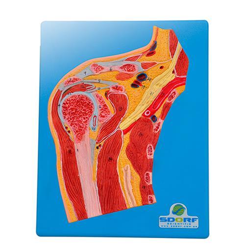 Secção Mediana Do Ombro - Para Aprendizagem De Anatomia - Sdorf Scientific