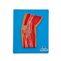 Secção Mediana Do Cotovelo - Para Aprendizagem De Anatomia - Sdorf Scientific