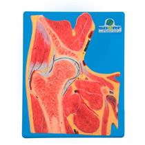 Secção Mediana Do Quadril - Para Aprendizagem De Anatomia - Sdorf Scientific