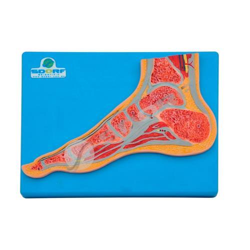 Secção Mediana Do Pé - Para Aprendizagem De Anatomia - Sdorf Scientific