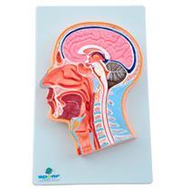 Cabeça Com Secção Mediana - Para Aprendizagem De Anatomia - Sdorf Scientific