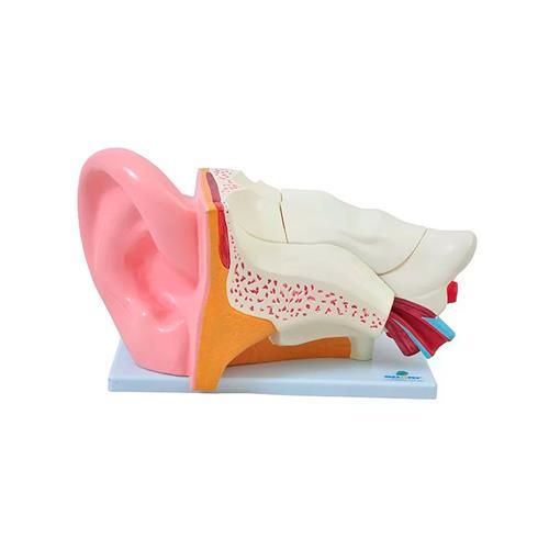 Ouvido Ampliado Em 6 Pares Para Anatomia - Sdorf Scientific