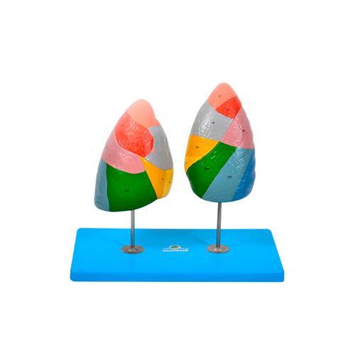 Pulmão Segmentado Em Cores Para Anatomia - Sdorf Scientific