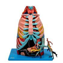 Cavidade Torácica Em 17 Partes Para Anatomia - Sdorf Scientific