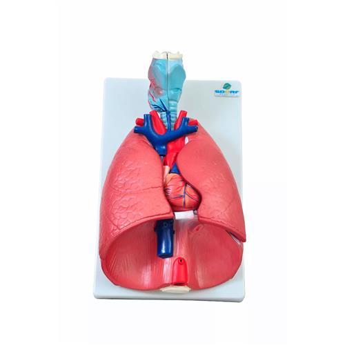 Sistema Respiratório Em 7 Partes Para Anatomia - Sdorf Scientific