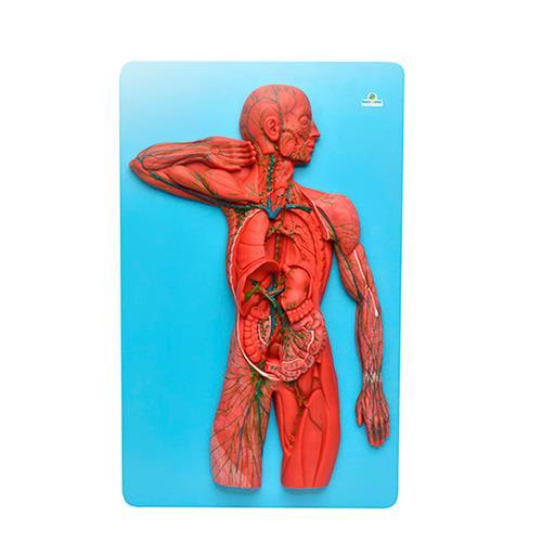 Sistema Linfático Para Anatomia - Sdorf Scientific