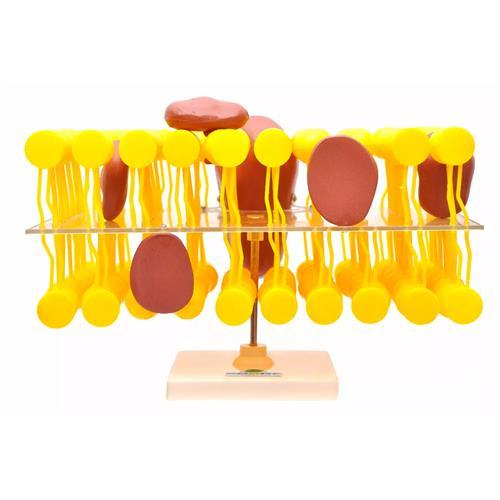 Membrana Celular Biomembrana - Modelo Anatômico - Sdorf Scientific