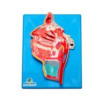 Modelo Anatômico De Nervos E Vasos Sanguíneos Da Face - Sdorf Scientific