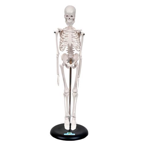 Esqueleto Humano De 45Cm Com Suporte - Sdorf Scientific