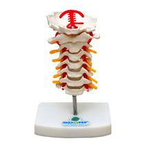 Coluna Vertebral Cervical - Sd 5010 - Sdorf Scientific