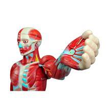 Figura Muscular Humana De 170Cm Com Órgãos Internos Em 29 Partes - Sdorf Scientific