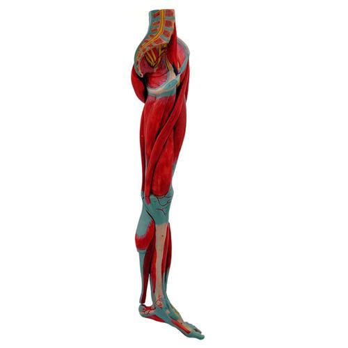 Perna Com Músculos, Vasos E Nervos Em 10 Partes - Sdorf Scientific