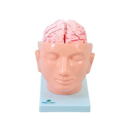 Cabeça Com Cérebro Arterioso Em 9 Partes - Sdorf Scientific