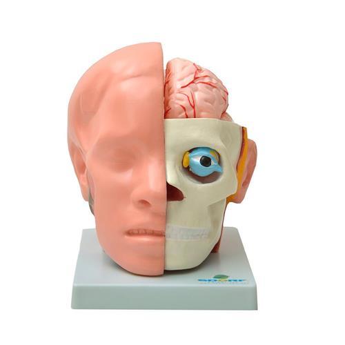 Cabeça Com Cérebro Em 10 Partes - Sdorf Scientific