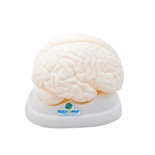 Cérebro Em Tamanho Natural Em 3 Partes - Sdorf Scientific