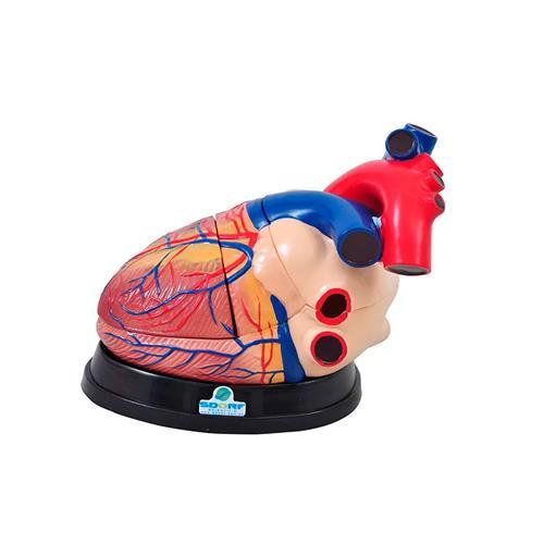 Coração Ampliado Em 3 Partes Para Anatomia - Sdorf Scientific