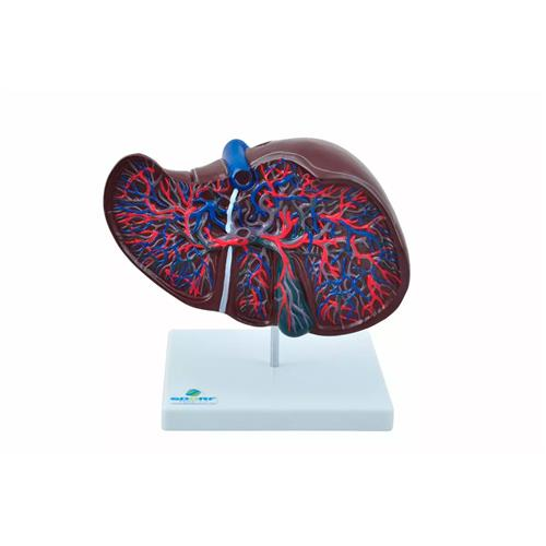 Fígado Para Aprendizagem De Anatomia Luxo - Sdorf Scientific